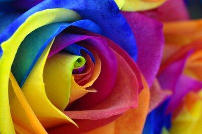 Canvastavlor Rainbow ros eller lycklig blomma