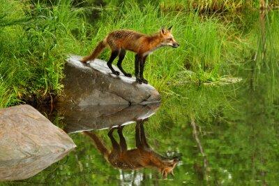 Canvastavlor Red Fox och vatten reflektion omgiven av gröna.