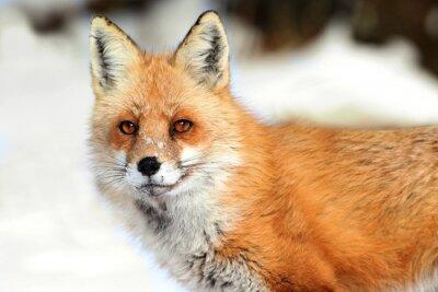 Canvastavlor Red Fox (vulpes)