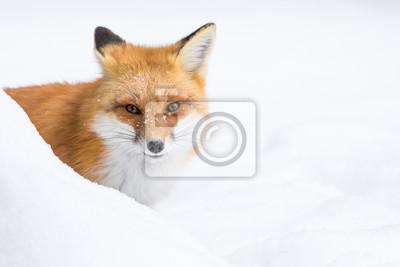 Canvastavlor Red Fox, Vulpesvulpes, kikar bakom en snövall