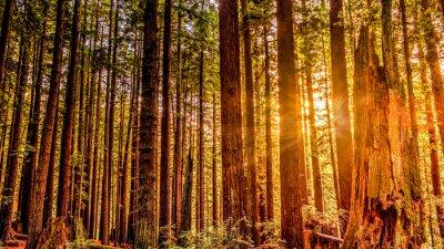 Canvastavlor redwood sön