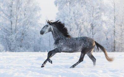 Canvastavlor Renrasiga häst galopperande över en vinter snöig äng