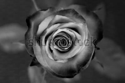 Canvastavlor Reste sig. Dekorativ svartvit ros. Elegant romantisk blomma.