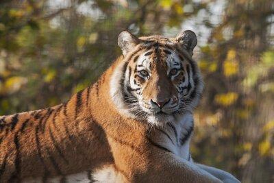 Canvastavlor Resting Indisk tiger