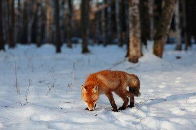 Canvastavlor rödräv i vinter skog Pretty
