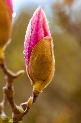 Canvastavlor Rosa magnolia blomknopp med regndroppar. Närbild med bakgrundsoskärpa