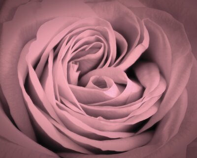 Canvastavlor Rosa ros närbild bakgrund. Romantisk kärlek hälsningskort