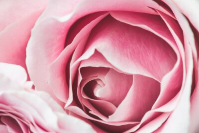 Canvastavlor Rosa rosa blomma med kort skärpedjup och fokus centrum av ros blomma