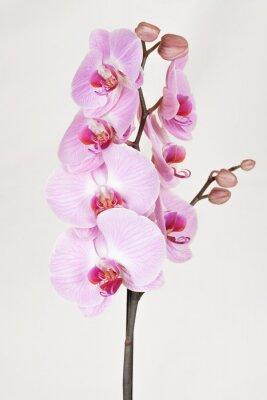 Canvastavlor Rosa streaked orchidea