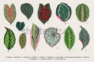 Canvastavlor Sätt löv. Exotiska. Vintage vektor botanisk illustration. Färgrik.