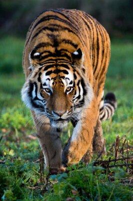 Canvastavlor Siberian Tiger