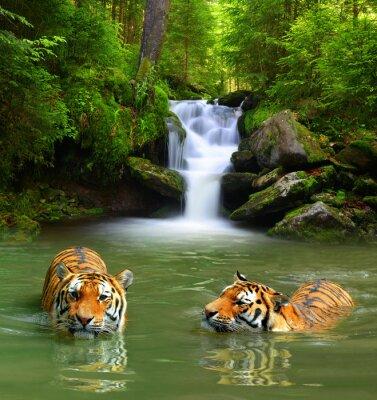 Canvastavlor Siberian tigrar i vatten