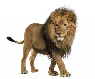 Canvastavlor Sidovy av en Lion promenader, Panthera Leo, 10 år gammal
