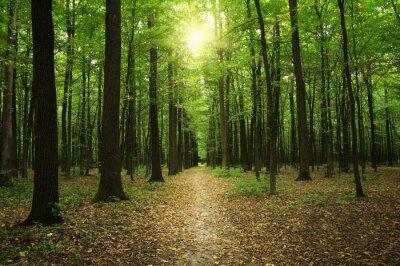 Canvastavlor Skog med solljus