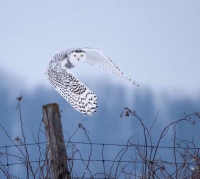 Canvastavlor Snöig Owl i flyg