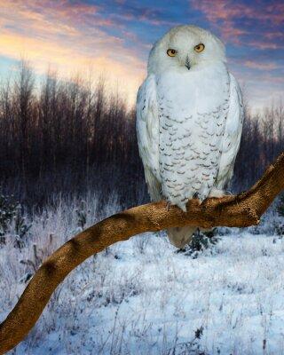 Canvastavlor Snowy Owl under solnedgång