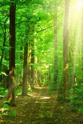 Canvastavlor solljus skog