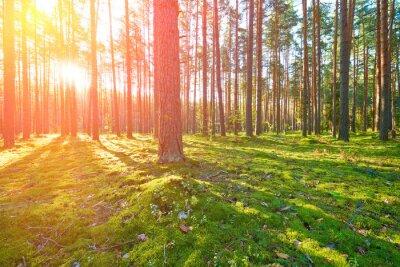 Canvastavlor Soluppgång i tallskog