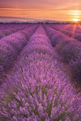 Canvastavlor Soluppgång över lavendelfält i Provence, Frankrike