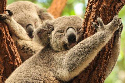 Canvastavlor sova koalor