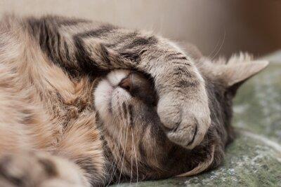 Canvastavlor sovande katt