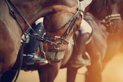 Canvastavlor Sport bruna hästar före tävlingar.