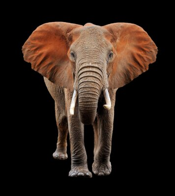 Canvastavlor Stor elefant på svart bakgrund