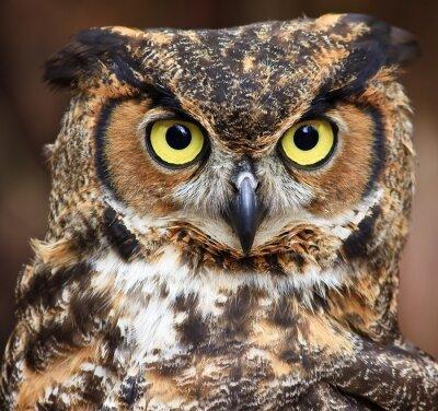 Canvastavlor Stor Horned Owl