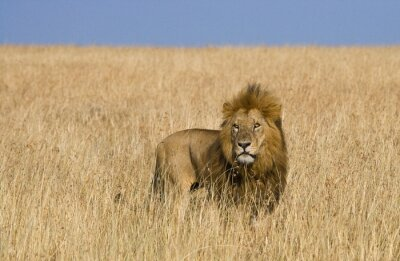 Canvastavlor Stor lejon i savannen. Nationalpark. Kenya. Tanzania. Maasai Mara. Serengeti. En utmärkt illustration.