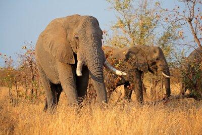 Canvastavlor Stora afrikanska elefant (Loxodonta africana), Kruger National Park, Sydafrika.
