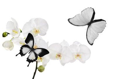Canvastavlor stora vita orkidé blommor och två fjärilar