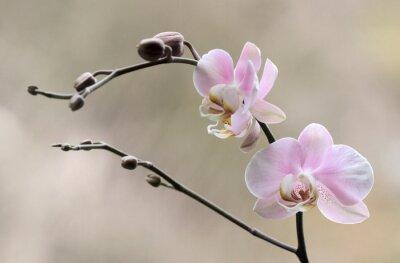 Canvastavlor Storczyk - Orchidea