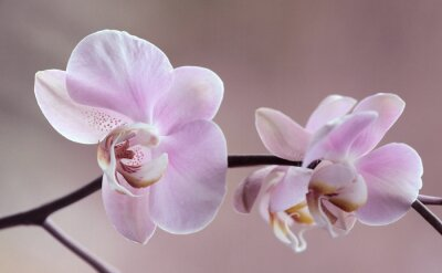 Canvastavlor Storczyki - Orchidea