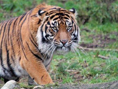 Canvastavlor Sumatran tiger
