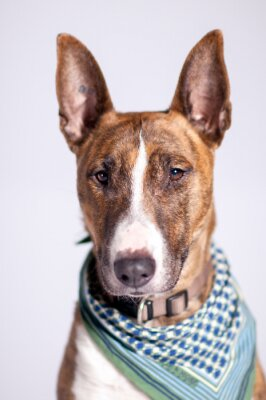 Canvastavlor Süßer Hund mit Halstuch schaut am Betrachter vorbei