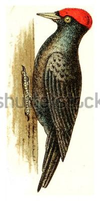 Canvastavlor Svart hackspett, vintage graverad illustration. Från Deutch Birds of Europe Atlas.