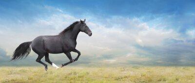 Canvastavlor Svart häst kör full galopp på fält