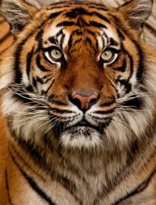 Canvastavlor tiger porträtt