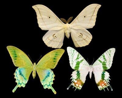 Canvastavlor tre fjärilar isolerat på svart