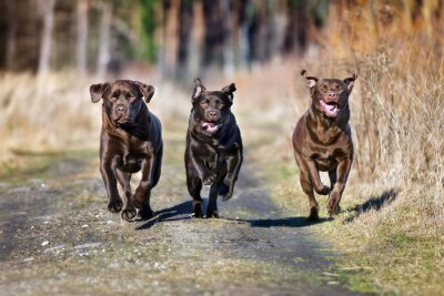 Canvastavlor tre lyckliga hundar som kör tillsammans