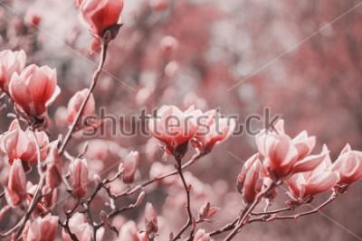 Canvastavlor Trendphotografi på temat för årets nya färg 2019 - Living Coral. Fjäder Magnolia blommor på naturliga bakgrunden.