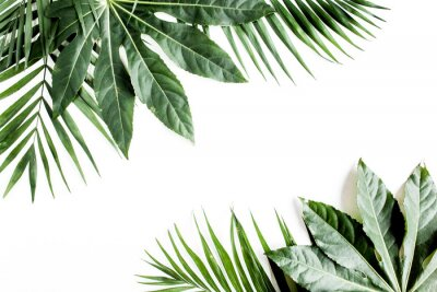 Canvastavlor Tropical palm leaves Aralia isolated on white background. Tropical nature concept.