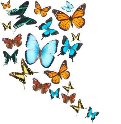 Canvastavlor Tropiska fjärilar set