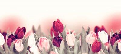 Canvastavlor Tulip colorful flower panoramic border on white