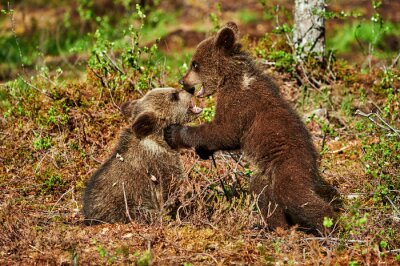Canvastavlor Två bruna björngröngölingar