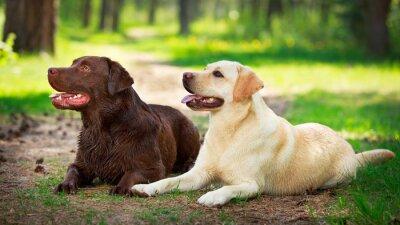 Canvastavlor två labrador retriever hund