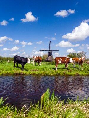 Canvastavlor Typisk holländsk landskap med kor på ängen och en väderkvarn nära vattnet