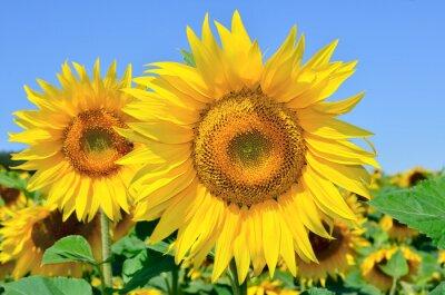 Canvastavlor Unga solrosor blommar i fält mot en blå himmel