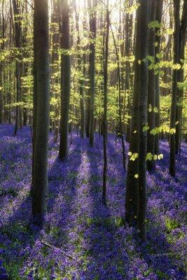 Canvastavlor Vacker morgon under våren blåklocka skogen med solen strålar throu