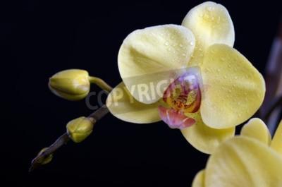 Canvastavlor Vackra färgstarka blomma Orchid, phalaenopsis på svart bakgrund